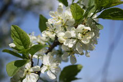 苹果开花结构树 免版税图库摄影