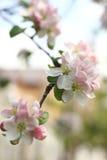 苹果开花结构树 库存图片