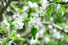 苹果开花结构树 免版税库存图片