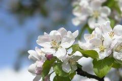 苹果开花结构树 免版税库存照片