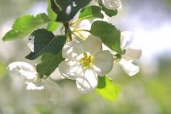 苹果开花结构树白色 免版税库存照片