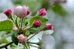 苹果开花 樱桃接近的花园红色春天郁金香上升白色 免版税库存图片