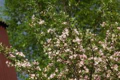 苹果开花 樱桃接近的花园红色春天郁金香上升白色 图库摄影