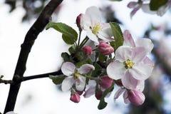 苹果开花 库存图片