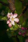 苹果开花domestica罗盘星座粉红色结构树 免版税库存图片