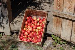 苹果把红色装箱 在一个木板箱的新近地摘的红色苹果 库存图片