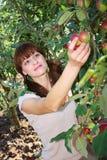 苹果挑选结构树妇女 图库摄影