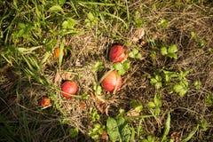 苹果放牧红色 免版税库存图片