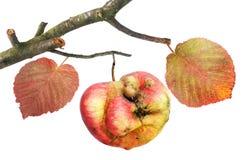 苹果无味分行的曲线 库存照片