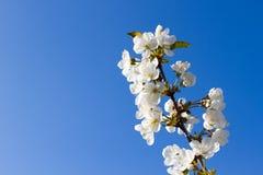 苹果早午餐开花反对蓝天 图库摄影