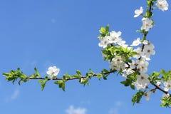 苹果春天结构树 免版税库存图片