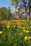 苹果有蓝天黄色的开花草甸在绿色领域开花 库存图片