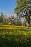 苹果有蓝天黄色的开花草甸在绿色领域开花 图库摄影