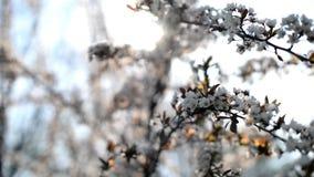 苹果杏树开花在庭院里本质上