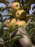 苹果束 免版税库存图片
