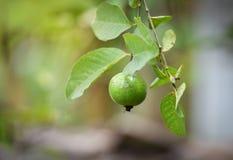 苹果果子绿色番石榴 库存照片