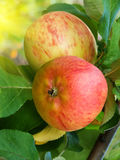苹果果树 库存照片
