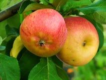 苹果果树 库存图片