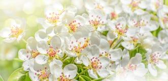 苹果树一个开花的分支在春天 库存图片