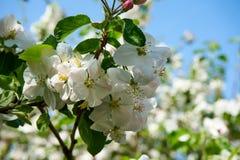 苹果树与天空的开花花在背景中 免版税库存照片