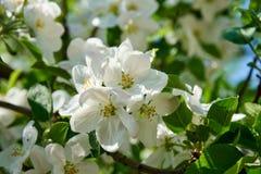 苹果树与蓝天的开花花在背景中 免版税库存照片