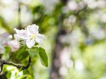 苹果树关闭开花在绿色森林里 免版税图库摄影