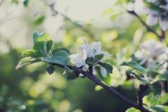 苹果树关闭开花的分支在背景春天果树园 选择聚焦 免版税库存照片