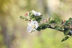 苹果树关闭开花的分支在背景春天果树园 选择聚焦 库存照片