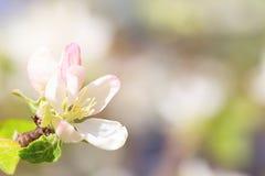 苹果树关闭的白桃红色花 库存图片
