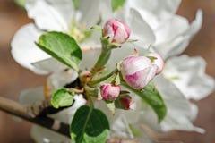 苹果树关闭的白桃红色花 免版税库存照片