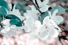 苹果树关闭的花和芽 库存图片