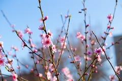 苹果树分支与桃红色花的 免版税库存照片