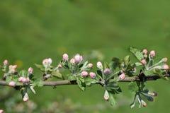 苹果树分支与桃红色花蕾的 库存照片