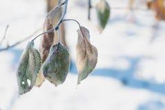 苹果树分支与用树冰盖的绿色叶子的在一个晴朗的冬日 免版税图库摄影