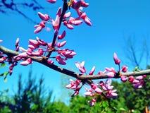 苹果树分支在开花的 免版税图库摄影