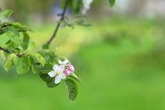 苹果树分支在绿色被弄脏的背景开花 库存照片