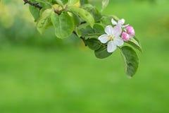 苹果树分支在绿色被弄脏的背景开花 免版税库存照片