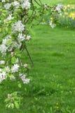 苹果树分支在绿色被弄脏的背景开花 库存图片