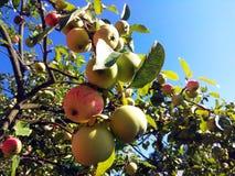 苹果树分支夏天照片 库存图片