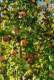 苹果树分支弯曲在果子重压下的 秋天果树园 免版税库存图片
