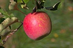 苹果树分支用一个成熟苹果 库存图片