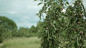 苹果树分支用摇摆在风的苹果 股票录像
