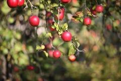 苹果树分支用苹果 免版税库存图片