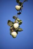 苹果树分支用苹果 库存照片