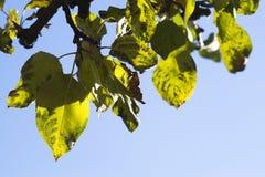 苹果树分支 库存照片