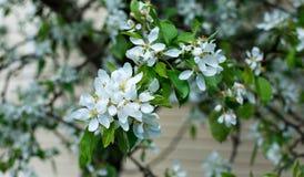 苹果树分行 空白美丽的花 免版税库存照片