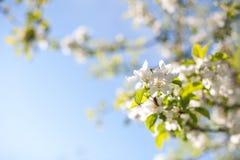 苹果树在与一个清楚,蓝天背景的一个晴天开花 免版税库存照片