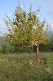 苹果树在克什米尔, 库存图片