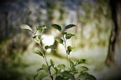 苹果树在夏天庭院里 库存照片