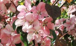苹果树在开花 春天 图库摄影